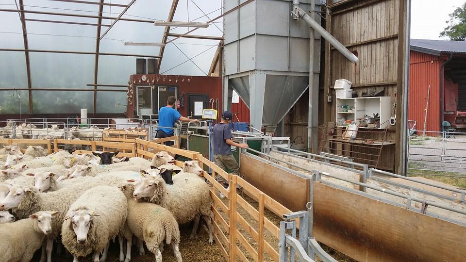 Vägning av lamm